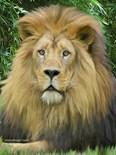 Lion Close Up Photo