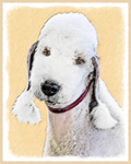 Bedlington Terrier - Multiple Illustrations