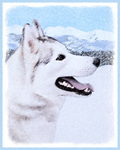 Siberian Husky-Multiple Illustrations