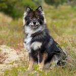 Finnish Lapphund Dog Breed