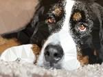 Dog Brown Eyes Low Poly