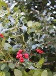 Red Green Christmas Holly