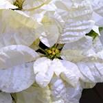 White Poinsettia Christmas Low Poly