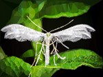 White Moth Low Poly Triangles