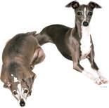 Unique Greyhound