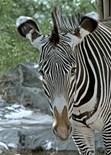 Greves Zebra