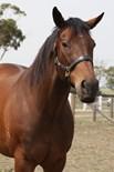 Champion Racehorse