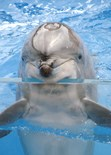 Nose Dolphin