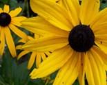 Perrenial Flowers