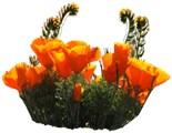 Antelope Valley California Poppy State Reserve