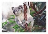 Koalas Zen Fur