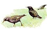 Starling Lover