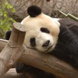 Christmas Panda Baby