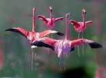 Flamingos Ready Fly