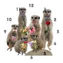 Meerkat Basic Clocks
