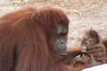 I Love Orangutans