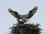 Birds Build Nests Poles