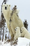 White Cubs