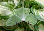 Luna Moth Photo