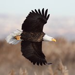 Detroit Eagle