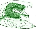 Tobacco Hornworm Manduca Sexta