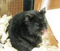 Hamster black Canvas Messenger Bags