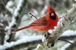 Cardinal Lover