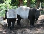 Tapirs Rule