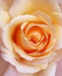 Botanical Lavender Rose Framed
