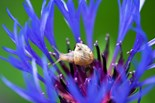 Cepaea Hortensis