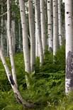 American Aspen Tree
