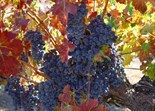 Sonoma County Landscapes Grapes Graphics