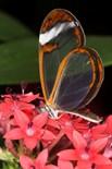 Glasswing Butterfly Flowers Asteraceae