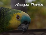 Turquoise Fronted Amazon