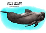 Long Finned Pilot Whales