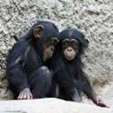 Chimpanzees Patches