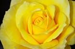 Botanical Yellow Rose Framed