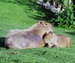 Photo Capybara