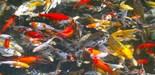 Goldfish School