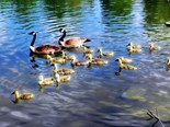 Pond Geese
