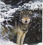 Wolf Storage Boxes