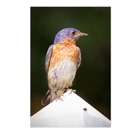 Male Bluebird Postcards (Package of 8)