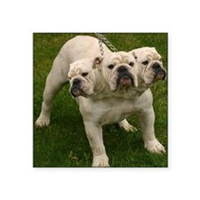 "3 headed bulldog Square Sticker 3"" x 3"""