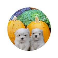 "Thanksgiving Maltese puppies 3.5"" Button (100 pack"