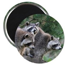 Racoon001 Magnet