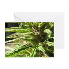 Female Cannabis Trichomes Greeting Card