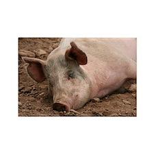 Sleeping Pig Rectangle Magnet