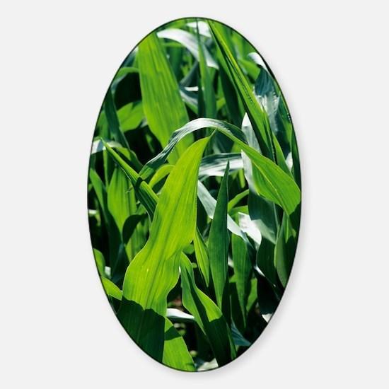 Maize plants Sticker (Oval)
