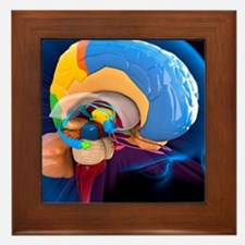 Human brain anatomy, artwork Framed Tile