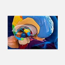 Human brain anatomy, artwork Rectangle Magnet